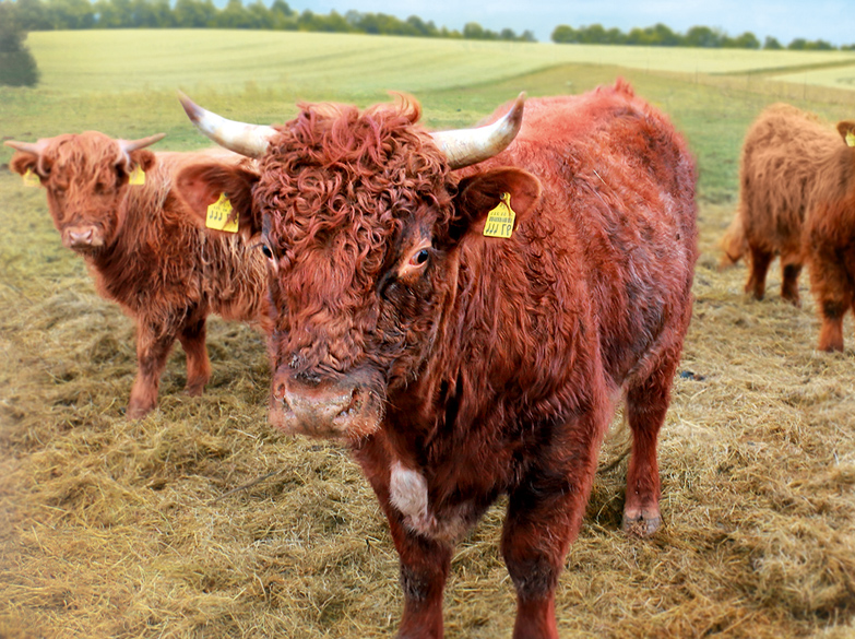 Rinder Scottish Highland Shorthorn